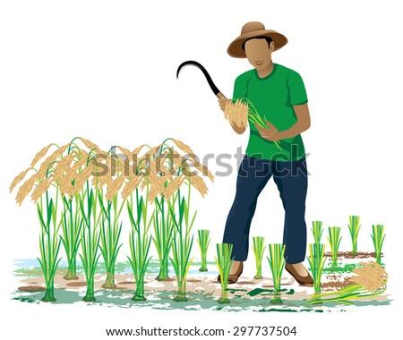 the farmer harvest rice in