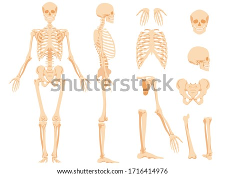 The full anatomical skeleton of a person and individual bones. Performed as an art illustration in a scientific medical style. The main view and side view, also separately the skull, pelvic bone Foto stock ©