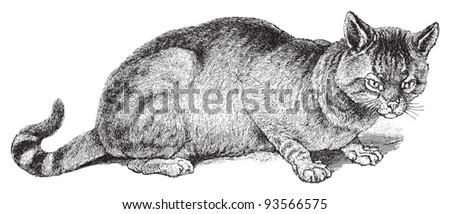 The Gloved or Fallow Cat (Felis maniculata) / vintage illustration from Meyers Konversations-Lexikon 1897