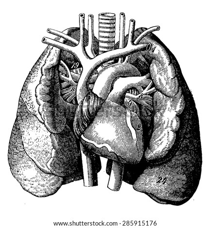 The heart in the middle of the lungs, vintage engraved illustration. La Vie dans la nature, 1890.