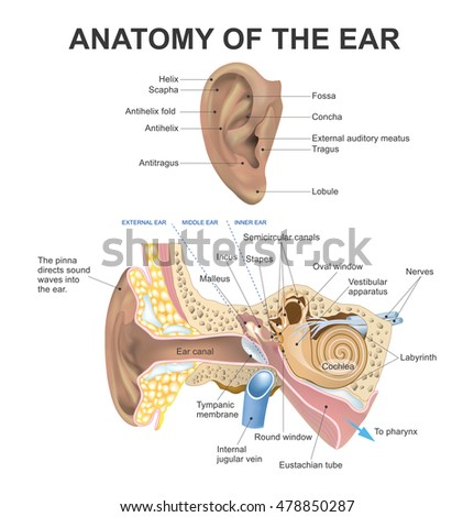 the human ear consists of three