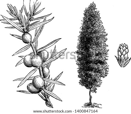 The Irish juniper is also known as juniperus communis hibernica.This plant growth is like column shaped, the branches are erect with numerous, rigid, closet set branchlets, vintage line drawing