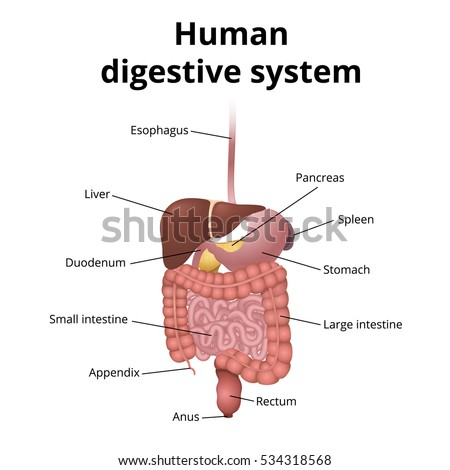 the location of the gastrointestinal tract in the body, the human digestive system, GI tract organs