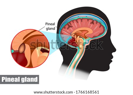 The pineal gland, conarium, or epiphysis cerebri. Diagram of pituitary and pineal glands in the human brain Stock photo ©