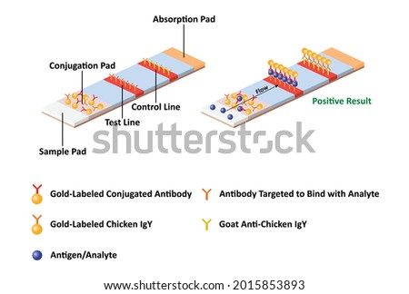 The principle of antigen test kit with lateral flow immunoassay for the qualitative detection interested antigen or analyte Foto d'archivio ©