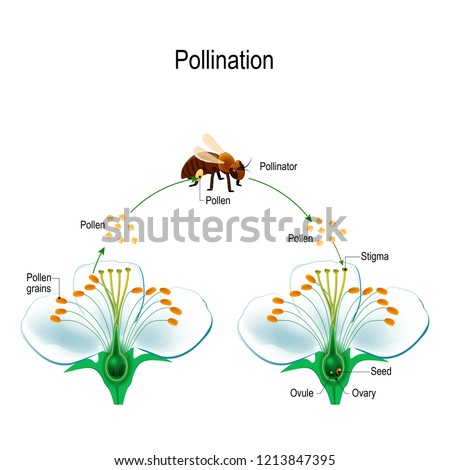 The process of cross-pollination using an animal of pollinator (bee). Anatomy of a flower. Flower Parts. Detailed Diagram. Reproduction in Plant. useful for study botany and science education