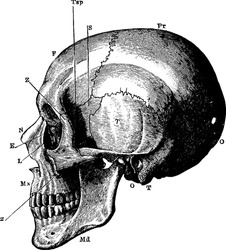 The side view of the human skull, with the parts labelled as, 'O', occipital bone; 'T', temporal bone; 'Pr', parietal bone; 'F', frontal bone; S'', sphenoid; 'Z', malar; 'Mx', maxilla; 'N', nasal;