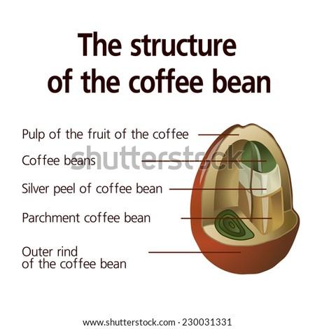 Coffee Bean Anatomy