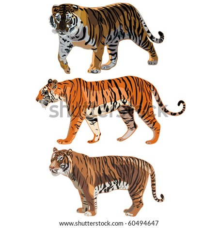 The three tigers in the world , Siberian Tiger,Sumatran Tiger, Bengal tiger - stock vector