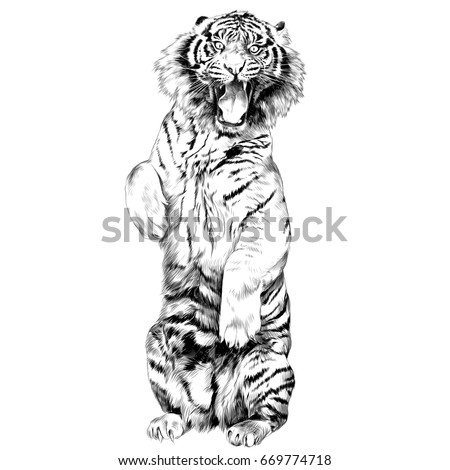 the tiger stands on hind legs