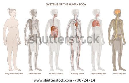 the vector illustration human