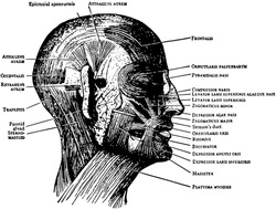 This illustration represents Face and Scalp Muscles, vintage line drawing or engraving illustration.