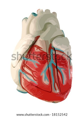 This is a medical (anatomically correct) model of the human heart, showing the ventricles and major vessels (aorta, other veins and arteries). VECTOR.