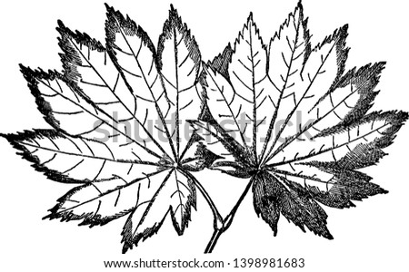 This is species of  Acer Japonicum. These are leaves of Acer Japonicum with light green colour, vintage line drawing or engraving illustration.