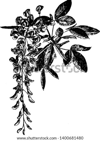 This is the Picture of Flowering Branchlet of Laburnum Alpinum plant. It is flower which grows from May to June and flowers are yellow in color, vintage line drawing or engraving illustration.