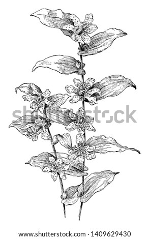 This picture is represents Tricyrtis hirta flowers which is known as toad lily, or hairy toad lily grows stream banks in central and southern Japan, vintage line drawing or engraving illustration.