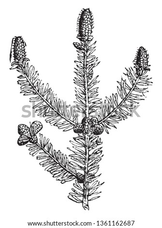 This picture shows a pine tree also known as evergreen coniferous tree which has clusters of long needle-shaped leaves. Many kinds are grown for the soft timber, which is widely used for furniture