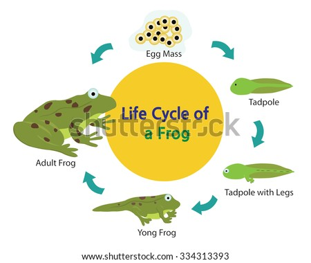 life cycle of a frog vector download free vector art stock