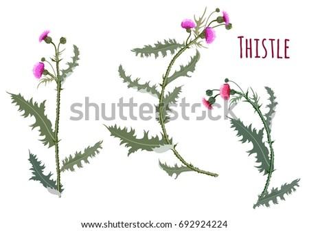 thistle   carduus  silybum