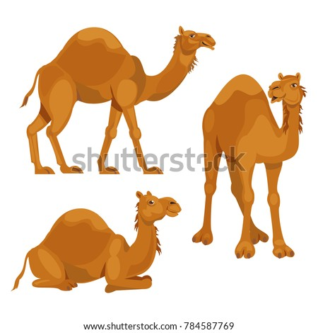 Three different poses camels isolated over white background
