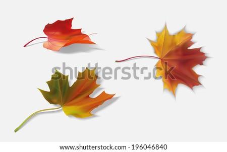 three fallen maple leaf