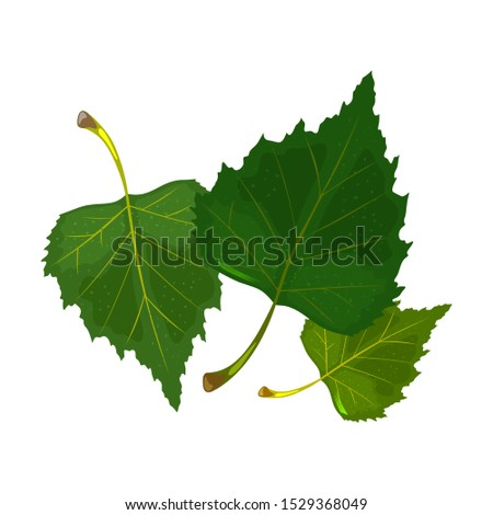 three green leaves of birch