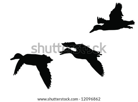 three mallard ducks   flying