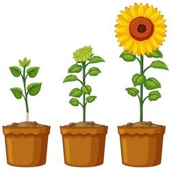 Three pots of sunflower plants illustration