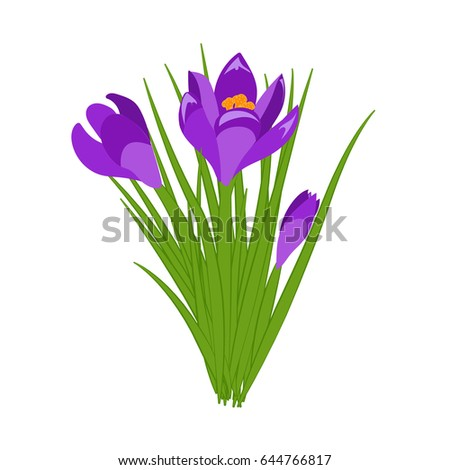 three purple crocus blooming