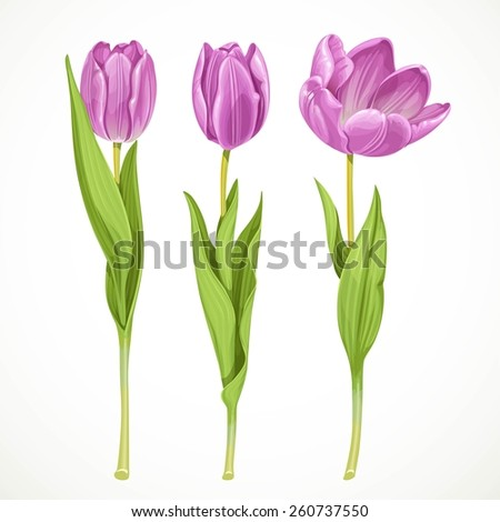 three vector purple tulips