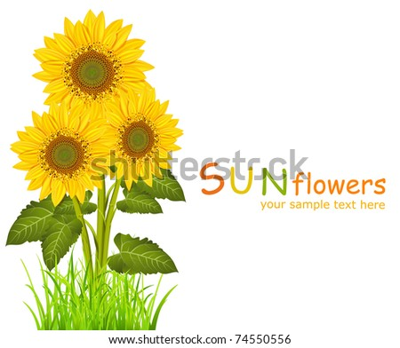 three vector sunflowers on a white background