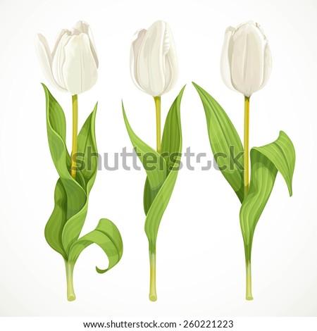 three vector white tulips