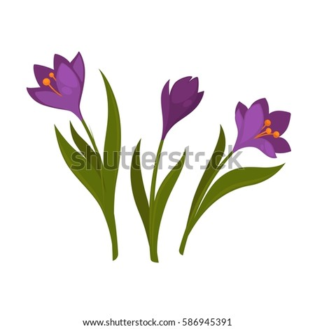 three violet crocus blooming