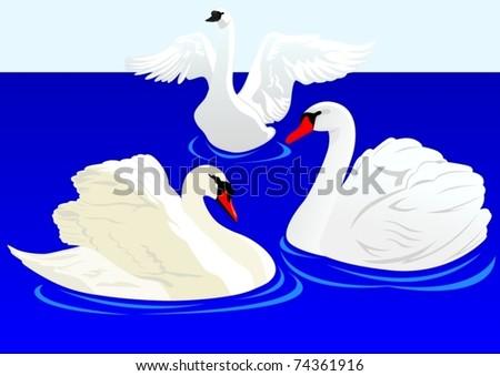 Three white swans swim in the pond