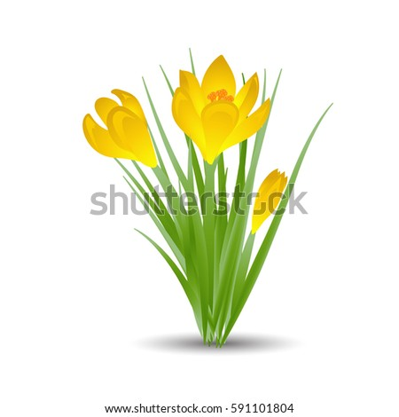 three yellow crocus blooming