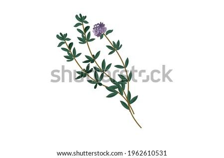 thyme herb leaf green vector