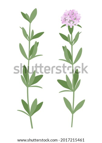 thyme vector illustration of