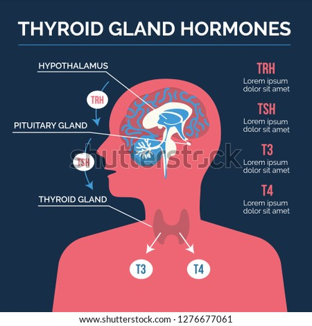 Thyroid hormones system vector illustration. Human body silhouette with brain and hormones produced by the thyroid gland.