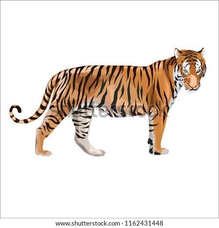 tiger design vector illustration