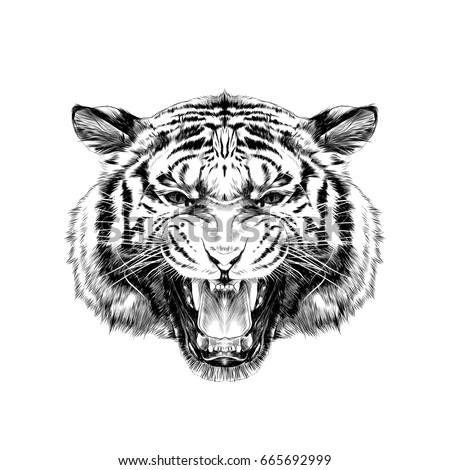 tiger head growling sketch