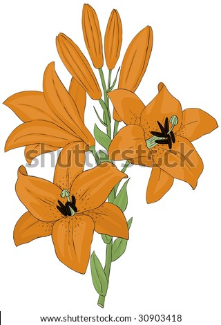 tiger lily illustration vector