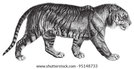Tiger (Panthera tigris) / vintage illustration from Meyers Konversations-Lexikon 1897