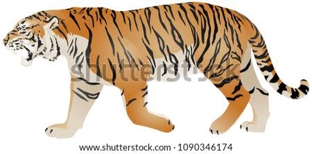 tiger walk  wild animal