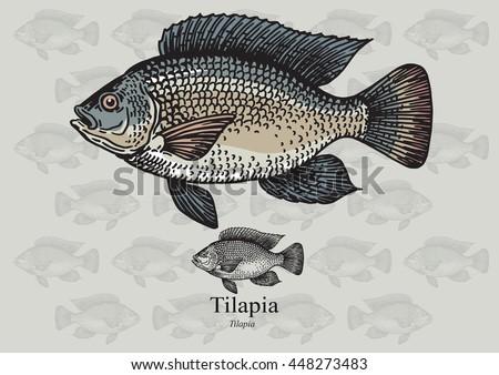 Tilapia Free Vector Art 3 Free Downloads