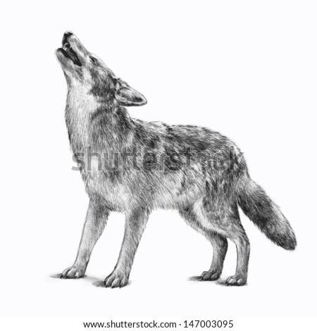 timberwolf or gray wolf vector wildlife animal icon for business cards or for use as clipart Image is hand drawn and isolated on white background Pencil sketch of howling scary wolf for halloween