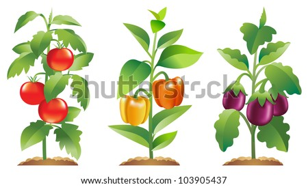 Tomato plant, Bell Pepper plant and Eggplant