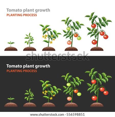tomato plant growth planting