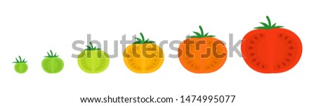 Tomato sectional ripeness stages. Seed ripening. Harvesting tomatoes vegetable plant. Ripening period colour gradation. Animation development progression. Ripen green tomat.