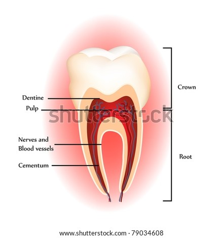 Tooth anatomy. Detailed diagram. Beautiful bright colors - stock vector