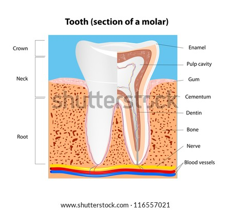 Tooth anatomy. Section of a human molar.  Vector scheme